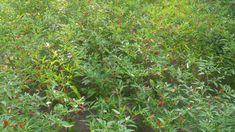 Thai Peppers, Stuffed Peppers, Plants, Stuffed Pepper, Flora, Planters