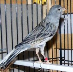 Picture of a Spanish Timbrado (Blue) Canary Tropical Birds, Exotic Birds, Colorful Birds, Exotic Pets, Serin, Cockatiel, Budgies, Canary Birds, Baby Drawing