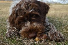 wire haired pointing griffon | Gwen (Wirehaired Pointing Griffon) by Mark2001, via Flickr | Griffs
