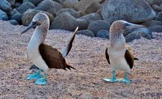 Blue Footed Boobies in Galapagos Islands - http://www.happyingalapagos.com/blue-footed-boobies-galapagos-islands/