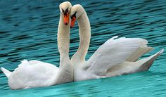 Swooning Swans