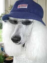 Funny Poodle Pictures