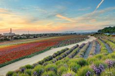 The Flower Fields are in bloom and are the best we've seen in years! This picture, by Joe Ewing