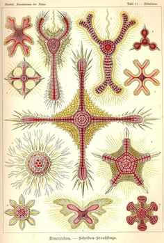 100 Beautiful Illustrations of Biologist Ernst Haeckel - Art Forms of Nature Art And Illustration, Botanical Illustration, Illustrations Posters, Nature Illustrations, Ernst Haeckel Art, Starfish Art, Art Et Nature, Nature Study, Nature Prints