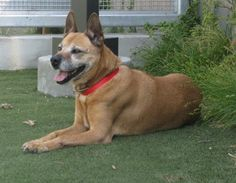 ***URGENT***Senior dog surrendered to animal control, now her life is in jeopardy...MINNIE - ID#A1273594  My name is Minnie and I am a spayed female, tan and black German Shepherd Dog and American Staffordshire Terrier.  The shelter thinks I am about 8 years old.  I weigh approximately 60 pounds.  I have been at the shelter since Mar 04, 2013. This information is less than 1 hour old. For more information: South Los Angeles Animal Care & Control Ctr at (888) 452-738