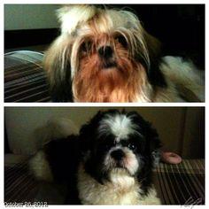 3連休な#フィリピン 午後の外出までマッタリ〜 resting with Pepper and Luna :-) #shihtzu #dog #philippines #rainy after the #typhoon #ofel #シーズー #犬
