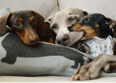 Dogs are men's best friends and there is no question about it. When it comes to the bond between two or three dogs, you can only imagine what kind of frien Dapple Dachshund, Dachshund Love, Daschund, Cute Puppies, Cute Dogs, Dogs And Puppies, Funny Dogs, Funny Animals, Cute Animals