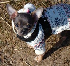 Chihuahua Attire...