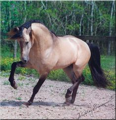 Lavrador Lusitano Stallion I love this beautiful guy! He is stunning and I own the Breyer Lavrador. ^_^