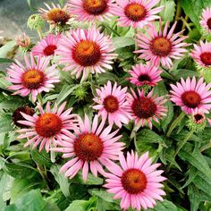 Echinacea Plant - Lilliput - Plants Attractive to Bees - Wildlife Attracting Plants - Flower Plants - Gardening - Suttons Seeds and Plants