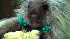 Teddy Bear, the porcupine, finds a pot of gold on St. Patrick's Day (video).