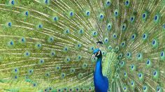 Peacock with his tail open
