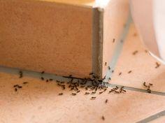 Es muss nicht gleich die Chemiekeule sein: Mit diesen Hausmitteln lassen sich Ameisen genauso schnell bekämpfen.