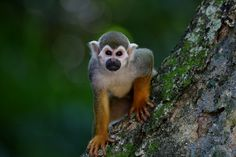 Scented Monkey, Primate, Animal, Looking, In The Tree