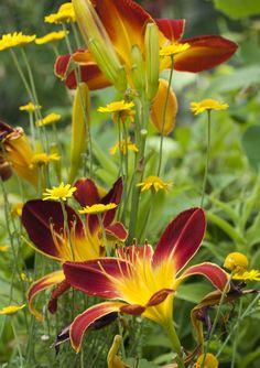 Day Lilies and Marguerite by Shotaku Flower Images, Flower Pictures, Tulips Flowers, Love Flowers, Beautiful Flowers Garden, Beautiful Gardens, Oriental Lily, Garden Journal, Flower Phone Wallpaper