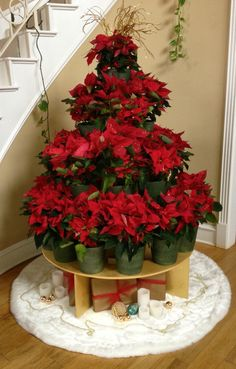 Poinsettia tree at Longwood Gardens, Kennett Square, PA ...