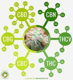 Looking Whole Plant CBD Oil or CBD Paste? Amma Life leads the way in supplying CBD health supplements grown in the EU. High in Cannabidiol our CBD Oils have been independently lab tested. Cannabis Growing, Cannabis Plant, Cannabis Oil, Growing Weed, Marijuana Facts, Endocannabinoid System, Medical Cannabis, Stoner, Medical Marijuana