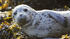 Seal pup on Seattle's shore [Elaine Thompson/AP] Funny Animal Videos, Funny Animals, Cute Animals, Shark Conservation, Cute Seals, Harbor Seal, Seal Pup, Cute Animal Pictures, Animal Pics