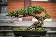 Bonsai Ficus, Jade Bonsai, Bonsai Plants, Bonsai Garden, Japanese Bonsai Tree, Mini Bonsai, Plantas Bonsai, Bonsai Styles, Fine Gardening