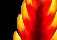 Heliconia - Flickr - Photo Sharing!