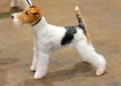Fox Terrier (Wire) dog breed information with pictures. Description of Fox Terrier (Wire). Interesting facts and breed history. Fox Terriers, Perro Fox Terrier, Wirehaired Fox Terrier, Terrier Breeds, Wire Fox Terrier, Terrier Rescue, Dog Crate Sizes, Best Hypoallergenic Dogs, Dog Breeds That Dont Shed