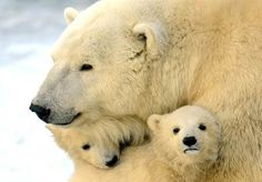 polar bears  Photo by Andrey Smirnov / AFP - Getty Images via Animal Tracks :)