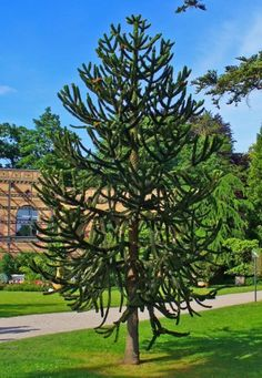 Araucaria araucana (Monkey puzzle tree) is a genus of evergreen coniferous trees in the family Araucariaceae. There are 19 extant species in the genus, with a highly disjunct distribution in New Caledonia (where 13 species are endemic), Norfolk Island, eastern Australia, New Guinea, Argentina, Chile, and southern Brazil.