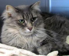 Harlequin is an adoptable Maine Coon Cat in Bangor, ME. Meow, meow!  My name is Harlequin.  I am a six year old grey and white Maine Coon tiger.  If you are looking for a quiet, independent, and fr...