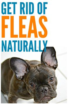 How To Get Rid Of Fleas Naturally My Pets Are Part Of The Family