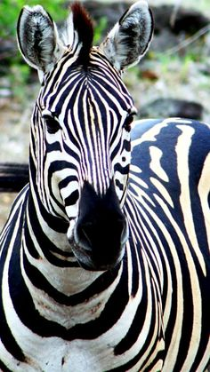 Zebra in Kruger National Park, South Africa (by Adroit Ambler on Flickr)