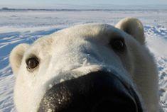 All about polar bears, from polar bear cubs and adaptations to status and threats. Facts, photos, research, and news from leading polar bear nonprofit. Polar Bear Face, Arctic Polar Bears, Baby Animals, Funny Animals, Cute Animals, Wild Animals, Polar Bears International, Funny Bears, Mundo Animal
