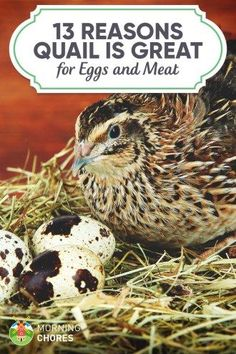 If you want to raise your own food source, egg or meat, but don't have big space in your backyard, then raising quail is a great option. Here's why.