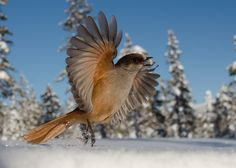 Siberian Jay by Edwin Sahlin on Magpie, Bird Art, Embedded Image Permalink, Beautiful Creatures, Besties, Amazing, Places, Photography, Animals