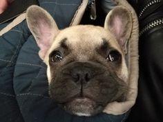French Bulldog, Dogs, Cute, Animals, Animales, Animaux, French Bulldog Shedding, Pet Dogs, Kawaii