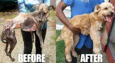 El antes y Después Del Rescate De Un perro - La Imagen Es Increíble http://www.sitioviral.com/el-antes-y-despues-del-rescate-de-un-perro/