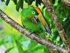 periquitão-maracanã (Psittacara leucophthalmus) (Foto: Rudimar Narciso Cipriani)