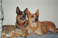 Smoke and Zoe, Red Heeler, Blue Heeler brother and sister.  Australian Cattle Dogs