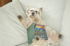 "One of my Westies, Bentley, ""reading"" one of my novels."