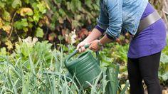 Brandnetels in een emmer water. Met een aftreksel hiervan kunt u uw tuinplanten bemesten.