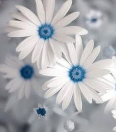 WondersOnly: blue daisy