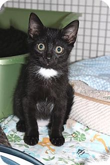 Trevose, PA - Domestic Shorthair. Meet Deva, a kitten for adoption. http://www.adoptapet.com/pet/16162340-trevose-pennsylvania-kitten