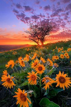 Beautiful Sunflowers and Balsam Root and Tree at Sunset Palouse by Chip Phillips. I love the Palouse. Beautiful World, Beautiful Places, Beautiful Sky, Pretty Sky, Beautiful Morning, Stunningly Beautiful, Beautiful Scenery, Photo Macro, Landscape Photography