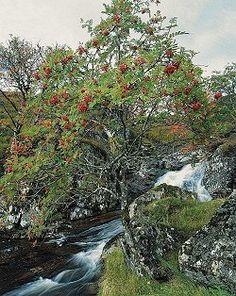 Rowan tree - pyhin puista on pihlaja (kesän jälkeen syksyllä sillä on sata sydäntä)
