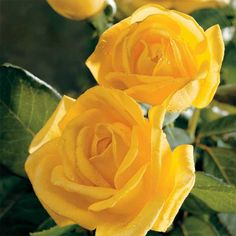 Radiant Perfume hybrid tea - Our most fragrant yellow rose ever, with an irresistible, strong citrus scent that's simply out of this world! Fragrant Roses, Shrub Roses, Ronsard Rose, 2 Clipart, Rose Care, Planting Roses, Flowers Garden, Hybrid Tea Roses, Rose Bush
