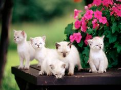 Beautiful Cat Wallpapers HD Pictures One HD Wallpaper Pictures Cute Cat Pics Wallpapers Wallpapers) Cute Kittens Images, Kitten Images, Cute Little Kittens, Cute Baby Cats, Cute Baby Animals, Kittens Cutest, Cats And Kittens, White Kittens, Siamese Kittens