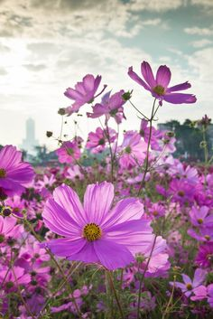 Most Beautiful Flowers, Love Flowers, Colorful Flowers, Wild Flowers, Rose Pictures, Nature Pictures, Pretty Pictures, Cosmos Plant, Cosmos Flowers