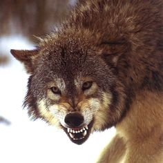 Wolf Giving Warning. (by Buscar con). Animals Of The World, Animals And Pets, Snarling Wolf, Wolf Hybrid, Bark At The Moon, Wolf Husky, Wolf Love, Wolf Pictures, She Wolf
