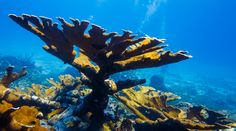 While not an exhaustive list, it may help you to identify some of the hard corals you see on your next dive. Elkhorn Coral, Beautiful Ocean Pictures, Hard Coral, Brain Coral, Ocean Creatures, Underwater World, Great Barrier Reef, Marine Life, Scuba Diving