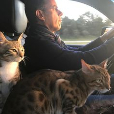 JERRY SEINFELD AND BENGAL CATS