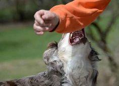 Il problema del cane che morde, ecco come fare In questo articolo vedremo come affrontare e risolvere il problema del cane aggressivo che tende a mordere gli umani. Le conseguenze di questo atteggiamento, purtroppo, sono molto spiacevoli per l'a #cane #addestramento